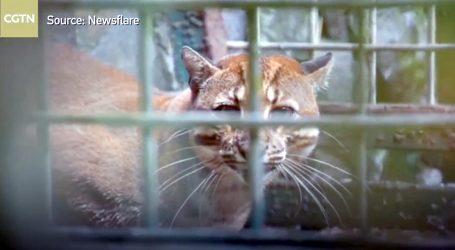 Dvije azijske zlatne mačke spašene od krijumčara i vraćene u prirodu