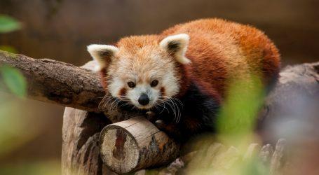Jedanaest crvenih pandi pušteno u nastambu azijskog zoološkog vrta