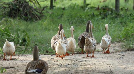Francuska potvrdila izbijanje ptičje gripe na farmi pataka