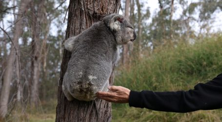 Radoznala koala nakratko posjetila australsku obitelj