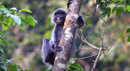Populacija langur majmuna sve brojnija u više azijskih područja