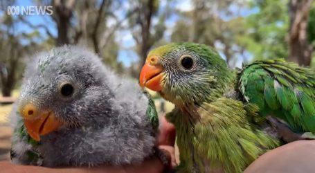 Australija brine o zaštiti Barraband papiga i njihovih prirodnih staništa