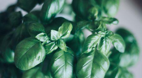Cvjetanje i odumiranje bosiljka spriječite jednostavnim trikom
