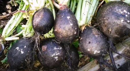 Sirova crna rotkva pomaže u održavanju zdravlja organizma