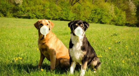 Psi mogu nanjušiti koronavirus, Česi ih treniraju da im pomognu u borbi s pandemijom