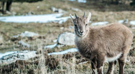 Stotine gazela prešlo iz Mongolije u Kinu, ondje je trava zelenija