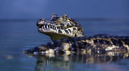 Peru: Zoološki vrt uspješno uzgaja mladunce ugrožene vrste krokodila