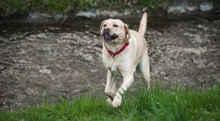 Labrador brzinski pojeo svu hranu koju su mu 'servirali'