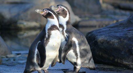 Zaposlenici akvarija u Genovi zabavljaju pingvine jer im nedostaju posjetitelji