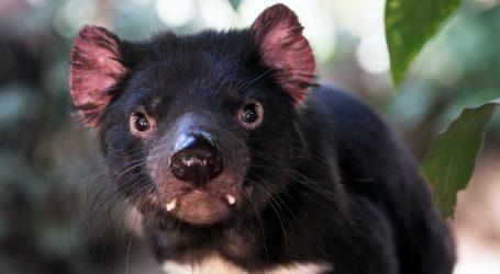Australija: Mladunci tasmanijskog vraga predstavljeni posjetiteljima skloništa za životinje
