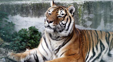 Vozač autobusa na zabačenoj cesti naišao na sibirskog tigra