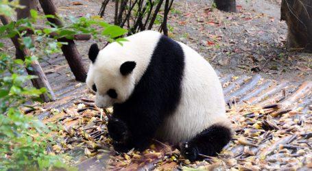 Velike pande uživaju u snježnim radostima