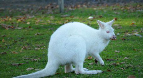 ZOO u New Yorku: Na svijet došao vrlo rijedak bijeli klokan