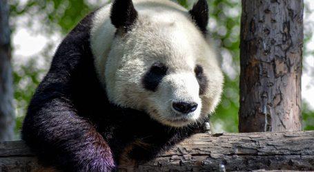 Pande i vukovi u moskovskom zoološkom vrtu uživaju na snijegu