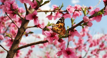 Šangaj: U gradskim parkovima procvjetale trešnje