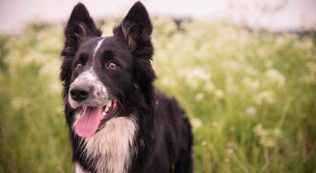 Nevjerojatna oporuka: Graničarska škotska ovčarka Lulu naslijedila pet milijuna dolara