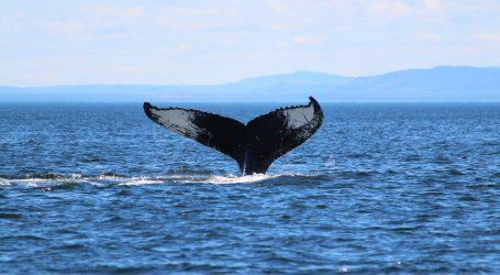 Umjetna inteligencija koristi se za praćenje i identifikaciju kitova