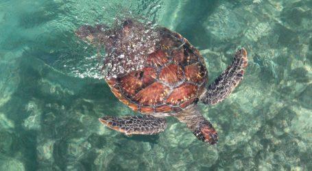 Teksas: Spašene kornjače se polako vraćaju u more