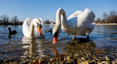 Nikad brojnije jato labudova proljeće čeka u kineskom gradu Korlu