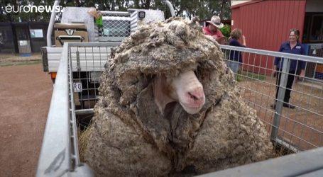 Australija: Odbjegla ovca na sebi imala 35 kilograma vune