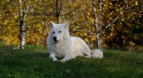 Polarna vučica okotila čak osam mladunaca