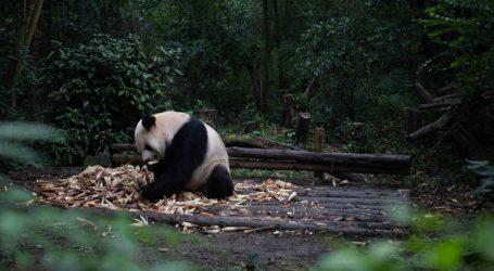 Veliki panda neoprezno prešao preko prometnice
