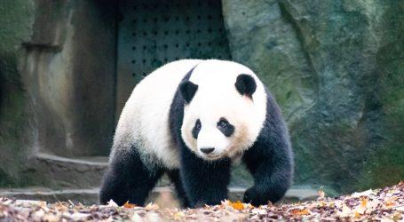 Washington: Veliki pande uživale spuštajući se niz snježnu padinu