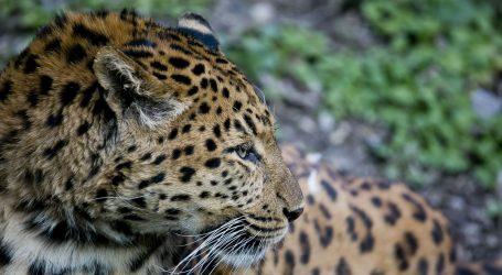 Matilda i Odilia, ženka dvoprstog ljenivca i kineska leopardica, guštaju u Zagrebu