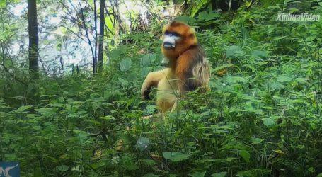 Kina: Zlatni majmuni blokirali cestu i od vozača tražili hranu