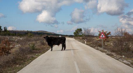 Australija: Mladi bik zaustavio promet na mostu i krenuo u šetnju