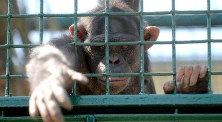 Češka: Zoološki vrtovi video prijenosom povezali nastambe čimpanzi