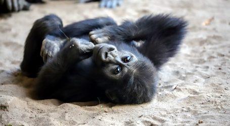 Berlin: Mladunče gorile će nakon internetskog odabira dobiti ime