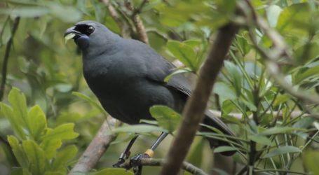 Novozelandska kōkako spašena od izumiranja, njen pjev je poput zvuka orgulja