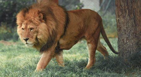 Nizozemska: Jedanaestogodišnji lav Thor podvrgnut vazektomiji