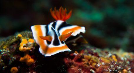 Hermissenda opalescens među najljepšim je i najneobičnijim morskim puževima