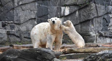 Mlada polarna medvjedica Kara po prvi put izašla iz brloga