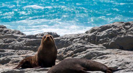 Tuljani izašli na sunčanje, nemojte ih uznemiravati!