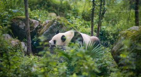 Jeste li znali, kada odraste veliki panda mora tražiti svoj teritorij