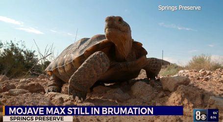 Kalifornijska kornjača Mojave Max ove godine imala dulji zimski san