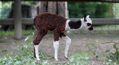 Freisen: Mladunče alpake se kreće uz pomoć kolica