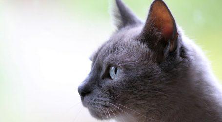 Znanstvenici otkrili prijenos koronavirusa s ljudi na mačke