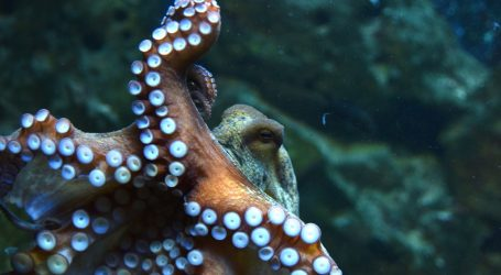 Australija: Velika hobotnica napala snimatelja u plićaku