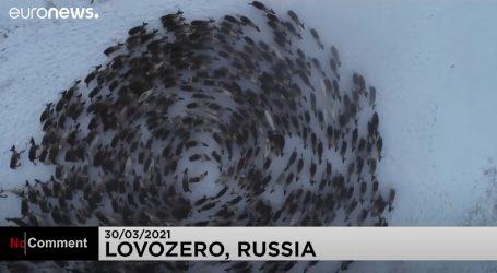 Rusija: Pogledajte kako su sobovi natjerani u formaciju kruga