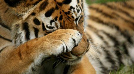 Kina: Ustrajnost u brizi za sibirske tigrove se isplatila, njihova populacija se povećala