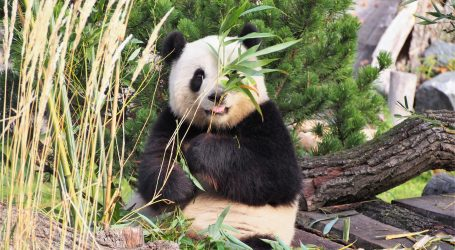 Veliki pande nemaju omiljeno godišnje doba, ali vole hladniju klimu