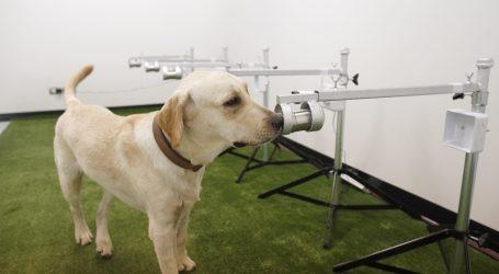 Studija: Psi brzo i pouzdano otkrivaju covid-19 i u asimptomatskim slučajevima