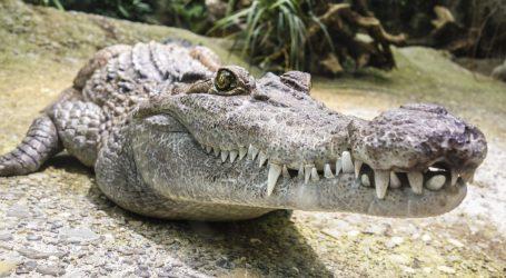 Artritični aligator pobjegao iz privatnog ZOO-a, tri je dana uživao na slobodi