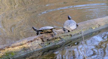 Očuvanje vrste: U potrazi za kornjačama u Illinoisu koriste i pse ptičare