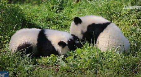 Pogledajte kako se igraju mladunci Velikog pande