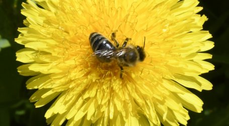 Svjetski dan pčela podsjeća koliko su 'marljiva mala bića' korisna svijetu